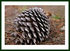 BeFunky_Monterey Pine Cone.jpg